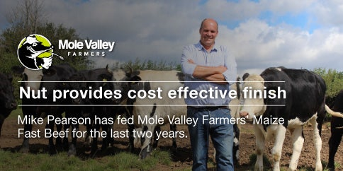 finishing cattle on Mole Valley Farmers Maize Fast Beef Nuts
